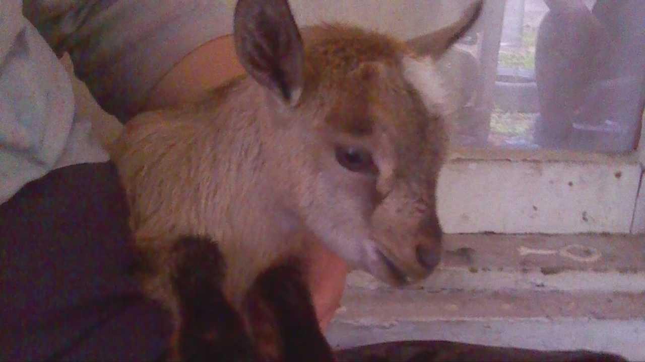 Mechelle Gallyot-Mcdonald left for church Sunday and when she came home, her baby goat, Nelly, was gone.