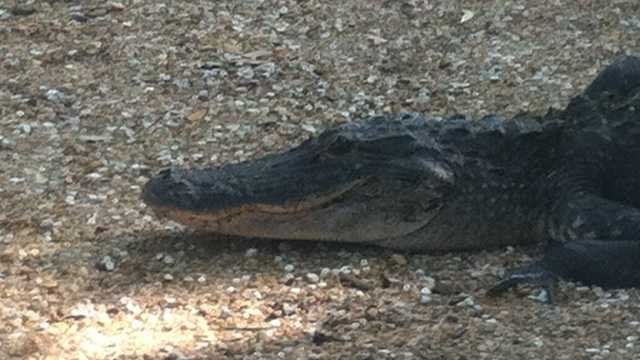 Restaurant-goers in Leesburg had to clear out after an 8-foot alligator showed up in May 2013. A trapper had to remove it.