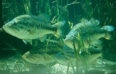 Do you know what the bass represents in Florida?