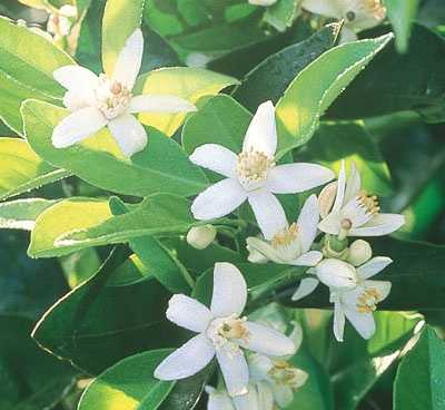 The Orange Blossom, pictured, is the official Florida flower. It is one of the most fragrant flowers in Florida.