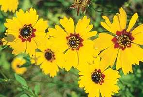 These yellow flowers are coreopsis, which was designated as Florida's official wildflower in 1991.