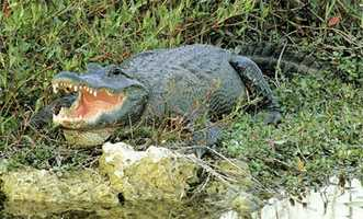 The American alligator became the official state reptile in 1987.