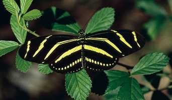The zebra longwing became the state butterfly in 1996.