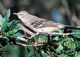 The common mockingbird became the state bird in 1927.