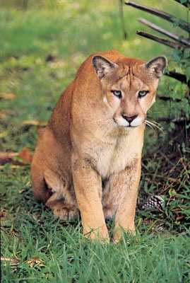 The panther became the state animal in 1982.