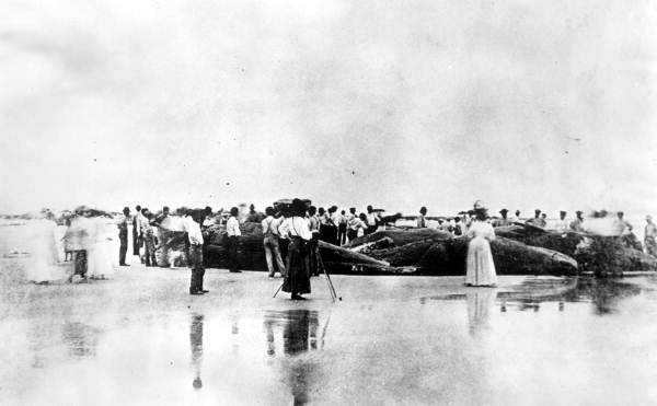 1908: Nine beached whales on New Smyrna Beach