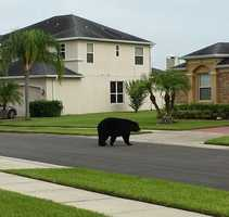 2013: View of bear walking around Sanford neighborhood