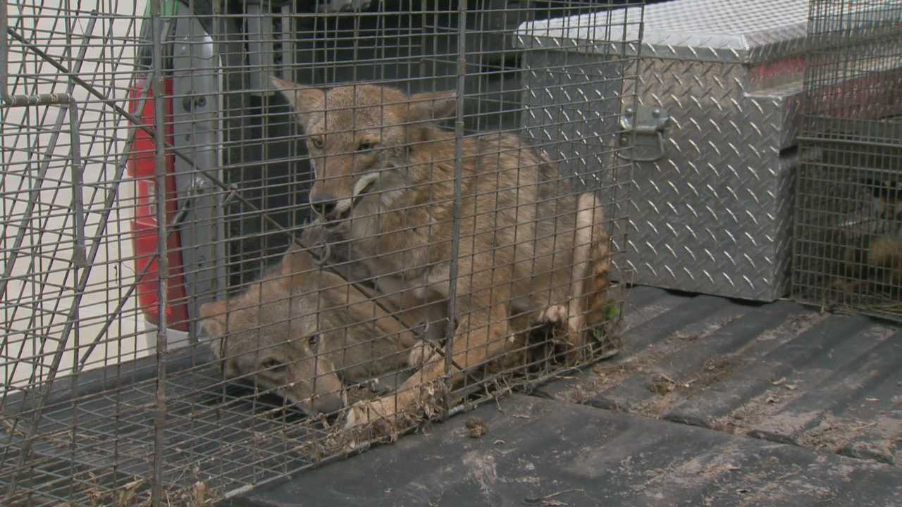 Two more coyotes have been captured in a residential area of Orange County following dozens of attacks on small pets.