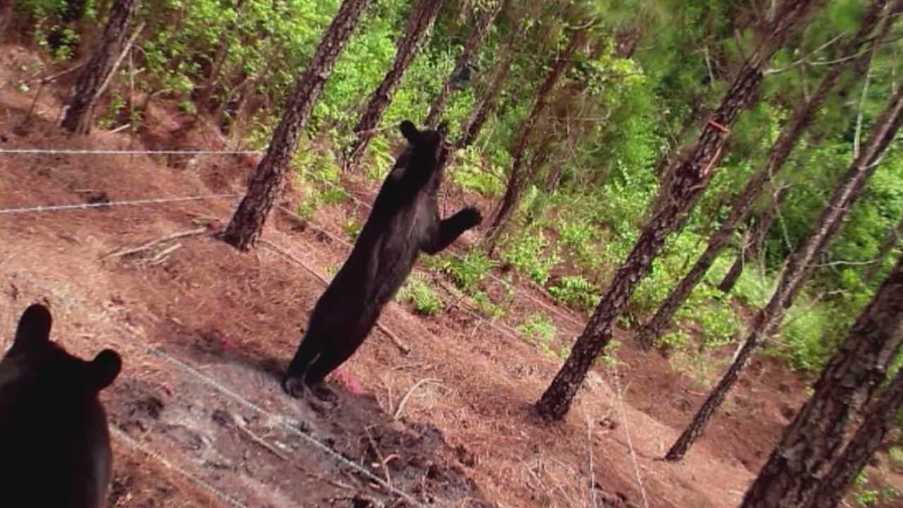 Researchers from the University of Central Florida are using tracking collars to study bears in Central Florida.