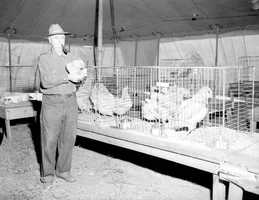 1955: Showing off his chickens at the North Florida Fair.