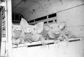 1986: Let us out! Pigs at the North Florida Fair.
