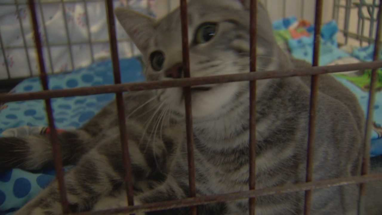 A wild police chase in Volusia County ends with two arrests and a pair of feline passengers found.