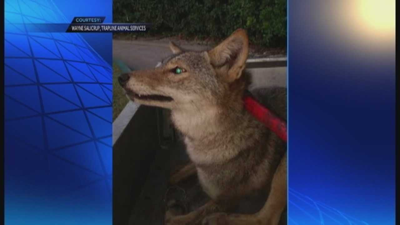 A coyote was captured Saturday near an area where coyotes have allegedly been killing people's pets.