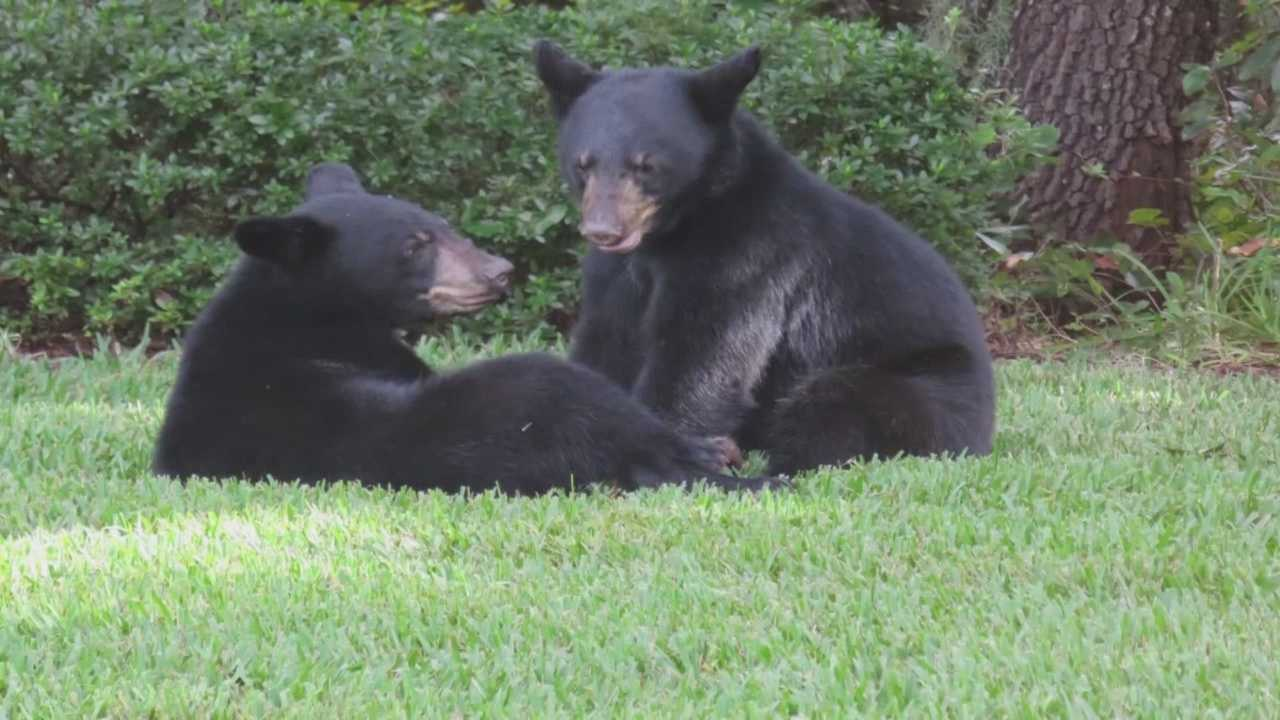 A bear bit a woman walking her dog in Lake Mary, according to the Florida Fish and Wildlife Conservation Commission.
