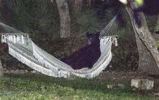 20. Bear lies down in hammock in Daytona Beach - After knocking over trash cans and scaring the residents of a Daytona Beach neighborhood Thursday, this black bear needed a rest. (Read Story)