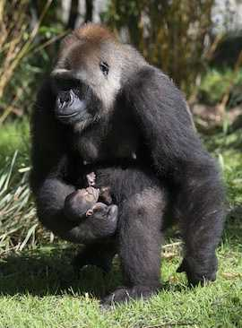 The Disney team welcomed several baby animals in 2014, including two Western lowland gorillas at Animal Kingdom.