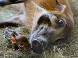 Smile! Disney's Animal Kingdom Lodge is home to a Red river hog sow and now her three piglets, born in May.
