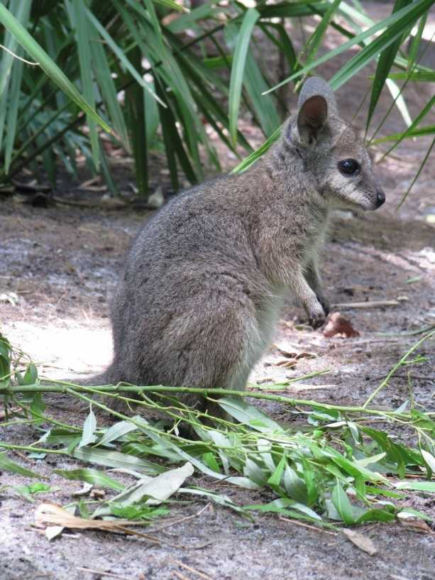 At the Oasis exhibits, this adorable wallaby joey was born.