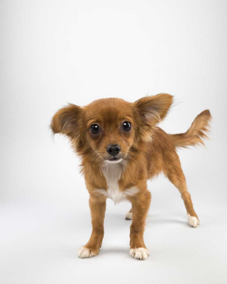Name: RaffiTeam: RuffBreed: PapillonAge: 19 weeks