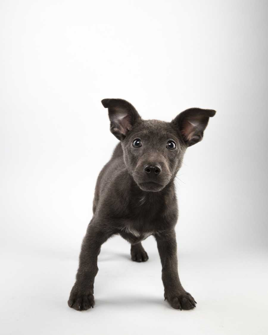 Meet six Orlando dogs starring in Puppy Bowl XI.Name: GrahamTeam: RuffBreed: Labrador Retriever MixAge: 12 weeks