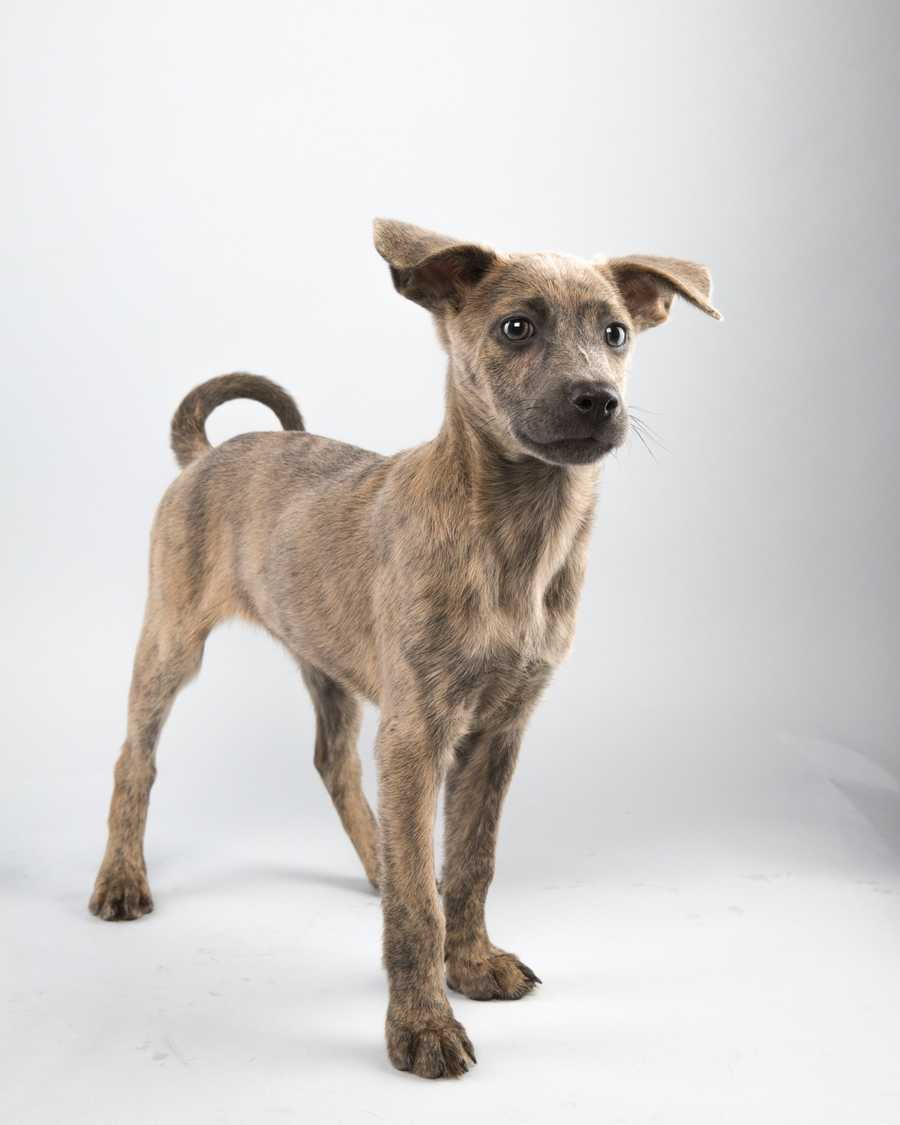 Name: StarlightTeam: RuffBreed: Labrador RetrieverAge: 12 weeks
