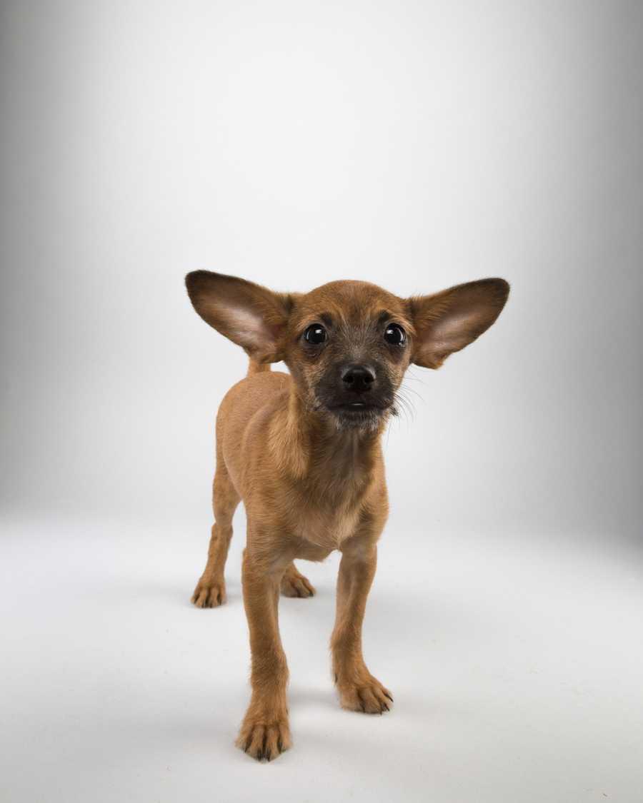 Name: SteveTeam: RuffBreed: Chihuahua mixAge: 16 weeks
