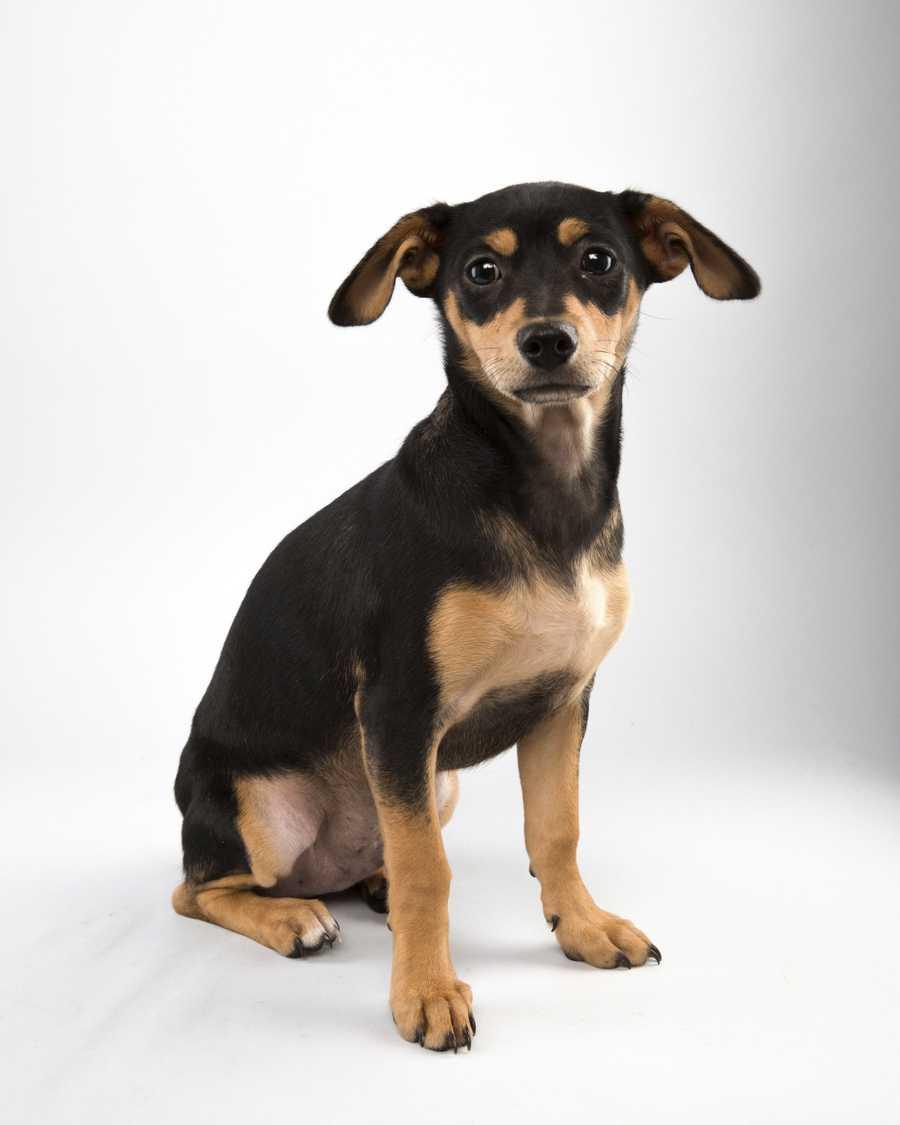 Name: BubbaTeam: RuffBreed: Chihuahua MixAge: 16 weeks