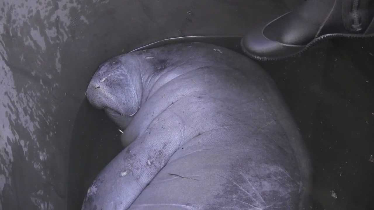 A total of 19 manatees were rescued from a Brevard County storm drain on Monday night and early Tuesday morning. Officials are now reviewing possible structural changes to avoid this situation in the future.