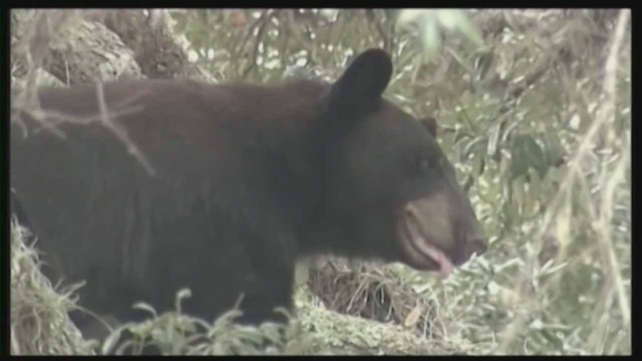 The Florida Fish and Wildlife Conservation Commission voted to approved bear hunting in Florida on Wednesday, and the first hunt is scheduled for the fall.