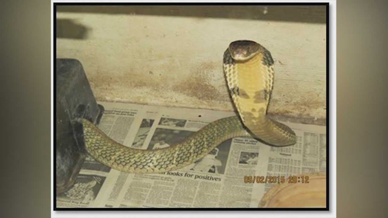 A king cobra has escaped from its owner in the Orlando area, according to the Florida Fish and Wildlife Conservation Commission. Adrian Whitsett (@AdrianWhitsett) has the story.
