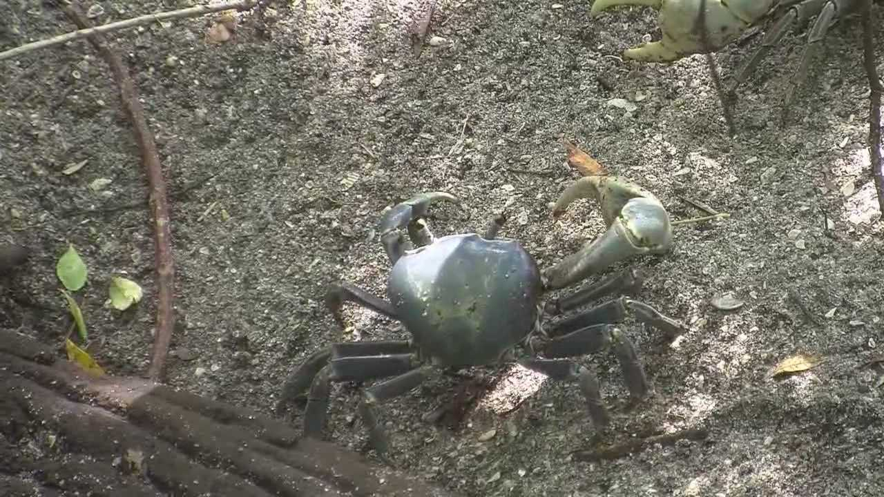 Giant land crabs spend a lot of time underground, but right now, they're coming out of their burrows and catching some Central Florida beach residents off guard. Dan Billow (@DanBillowWESH) has the story.
