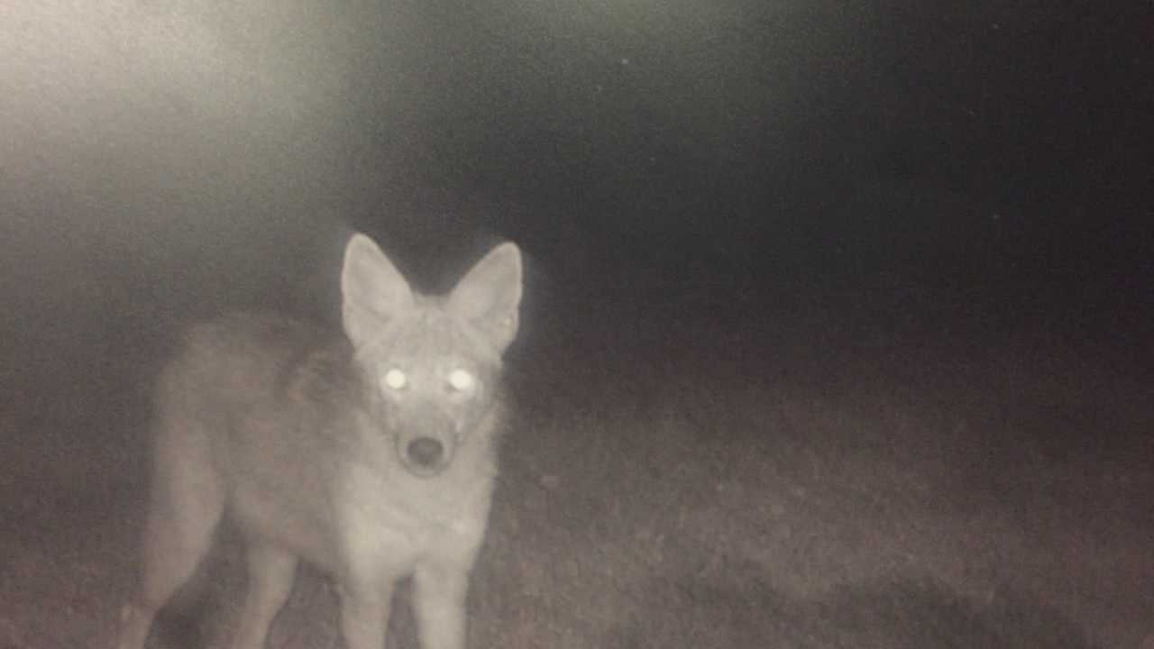 Maitland residents say coyotes are running loose around their neighborhood. Florida wildlife leaders held a seminar to let people know everything they can about the wild scavengers. Chris Hush (@ChrisHushWESH) has the story.