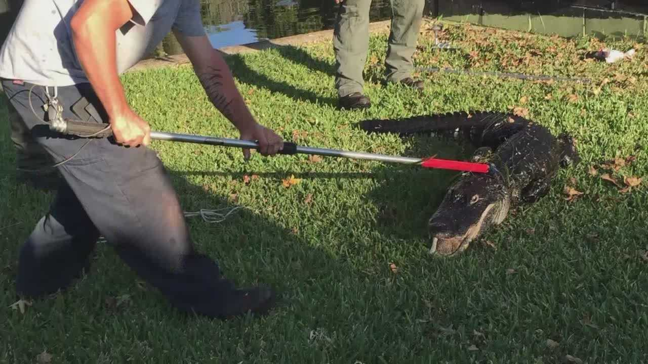 """""""He was headed straight to me and there was nothing stopping him."""" A man was attacked by a gator while working on his mother's irrigation pump in Lake County. Adrian Whitsett (@AdrianWhitsett) has the story."""