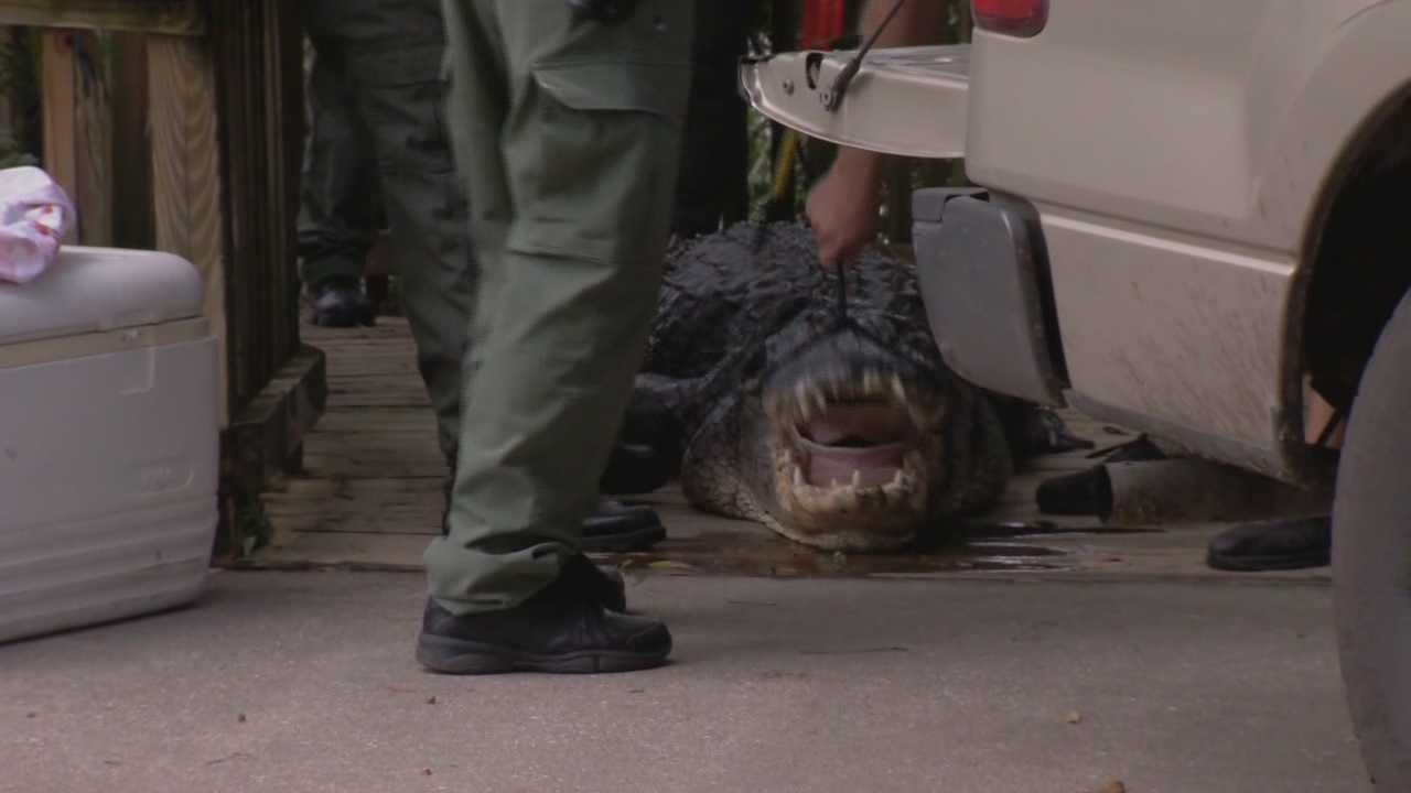 An alligator has been shot and killed in a Central Florida state park and wildlife officials say it may have killed a swimmer. Claire Metz (@clairemetzwesh) has the story.
