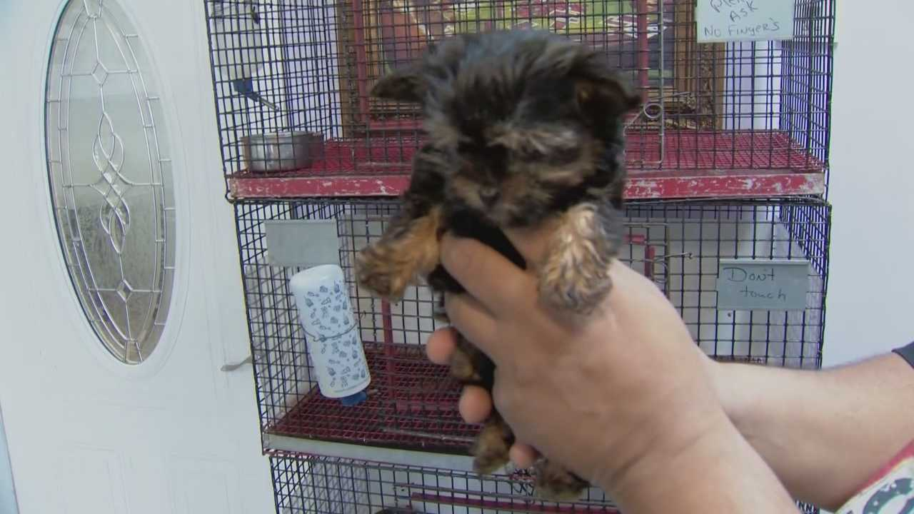 A Yorkie stolen from an Orlando pet store is now safely back where it belongs. The thief's mother played a key role in the dog's safe return. Michelle Meredith (@MichelleWESH) has the story.