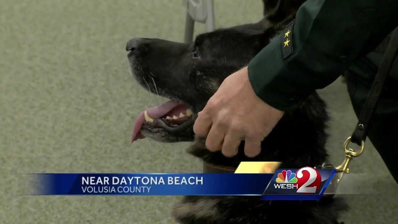 "A Volusia County sheriff's K-9, shot and wounded last year in the line of duty, was awarded a Purple Heart and a Medal of Valor on Tuesday. Officer ""Endo"" has recovered after being shot in the neck, protecting his handler and other deputies. Claire Metz (@clairemetzwesh) reports."