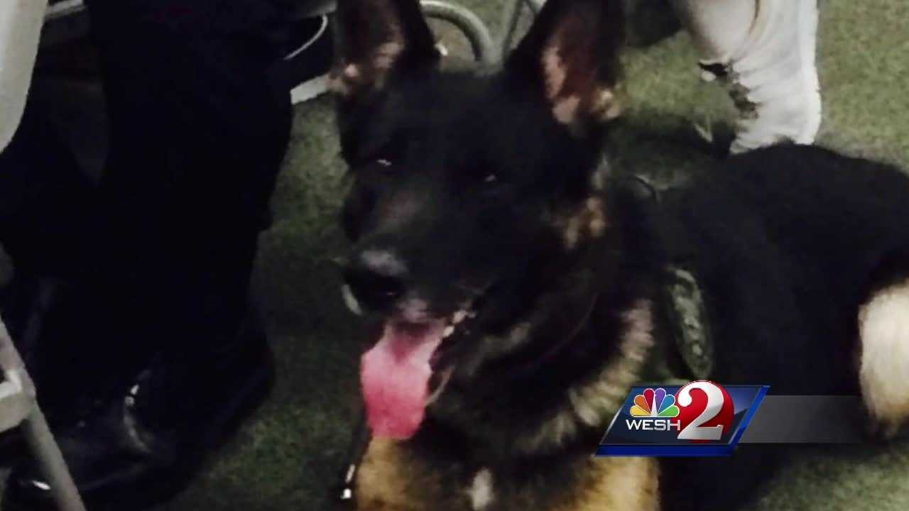 """Endo,"" the Volusia County Sheriff's Office K-9 that was awarded the Purple Heart and Medal of Valor on Tuesday, was given his awards hours before he assisted with the arrest in a high-speed chase. Claire Metz explains."