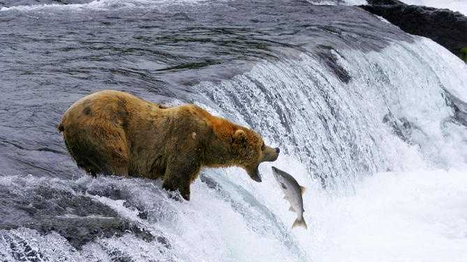 "This undated image provided by MacGillivray Freeman Films shows a brown bear catching salmon in Katmai National Park and Preserve in Alaska, shot in slow motion with a telephoto lens. The image appears in the new ""National Parks Adventure� IMAX movie opening Friday. The movie is part of a yearlong celebration of the National Park Service centennial."