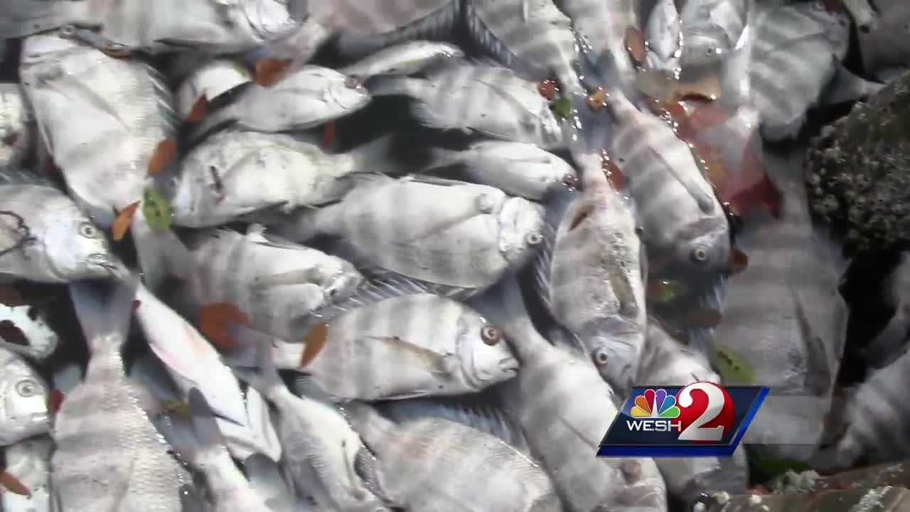 Thousands of fish are dead and clogging up a local waterway. Biologists said Brown Tide is to blame and cleanup efforts are underway. Dan Billow (@DanBillowWESH) has the story.