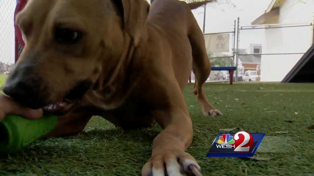 One in 10 dogs showing up at an area shelter is positive for heartworm disease, and treating it is costly. WESH 2 News Reporter Dave McDaniel takes a look at new program now in place to level the adoption playing field.