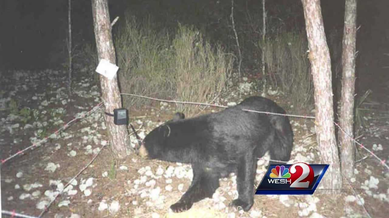 Wildlife officials in Florida say they haven't made a decision about whether to continue allowing the hunting of black bears, but new numbers show the animals are abundant statewide.