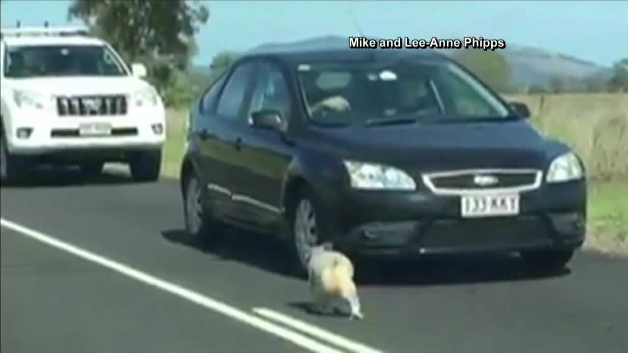 A koala received a police escort back to safety after wandering onto a busy Australian highway over the weekend.
