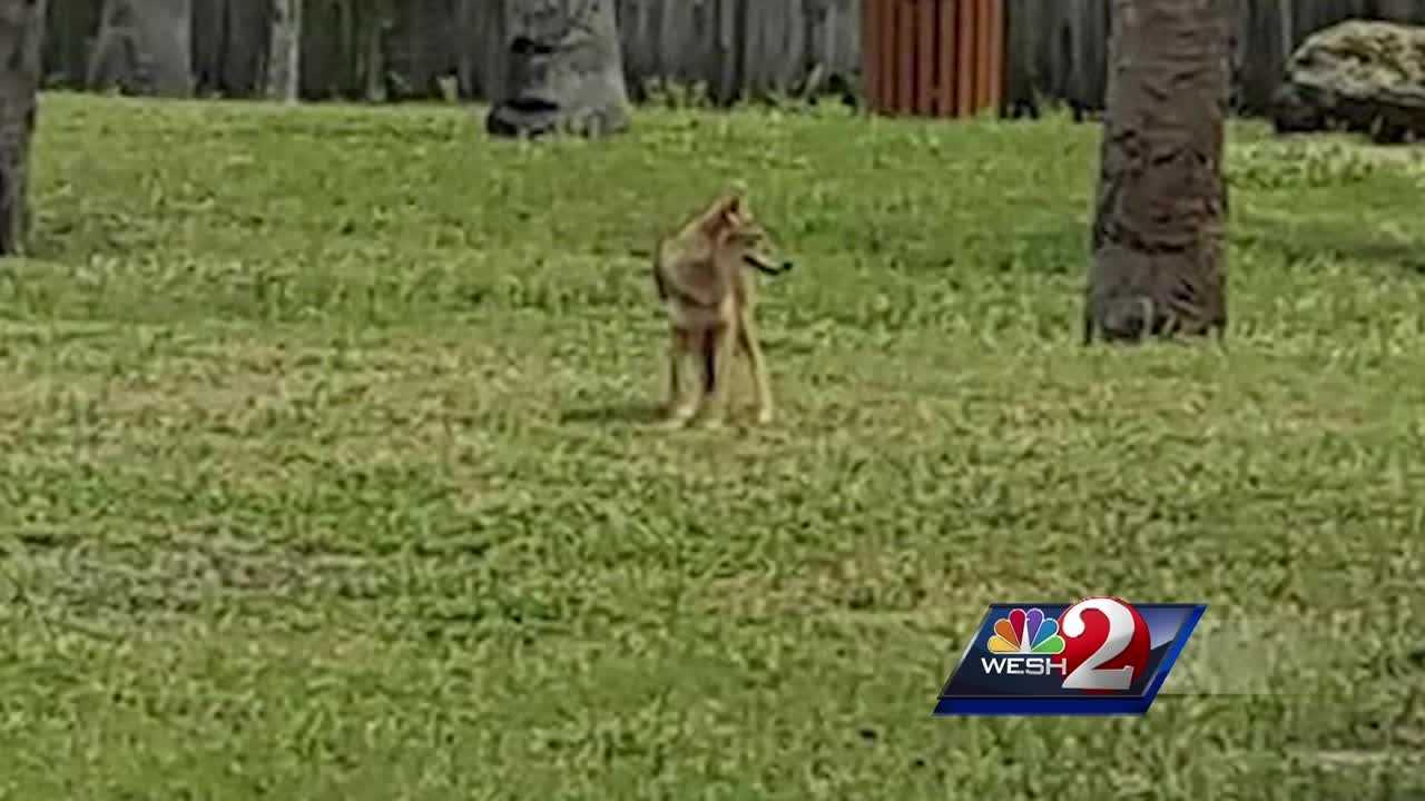 People in a Brevard County neighborhood said coyotes have been a problem at a local park for weeks. Some say there is evidence that people are feeding them. Dan Billow (@DanBillowWESH) explains.