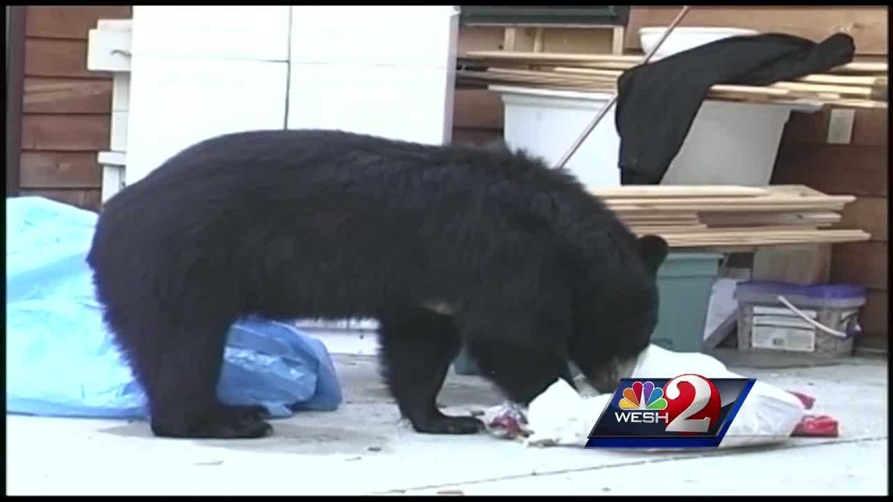 An abundant bear population has state wildlife officials talking about another hunt this fall.