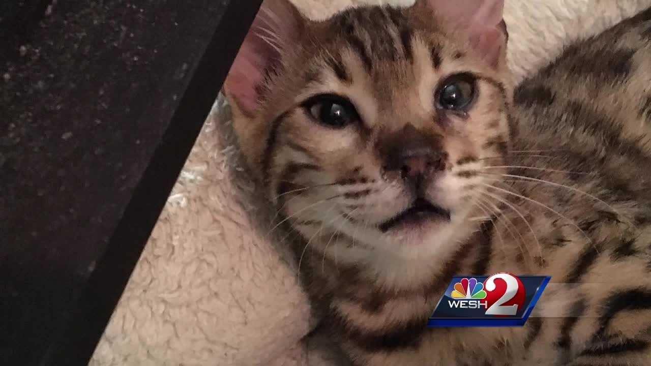 A Rockledge woman with up to 30 cats is facing an active criminal investigation in the wake of the city's inability to take away the felines. Dan Billow (@DanBillowWESH) has the story.