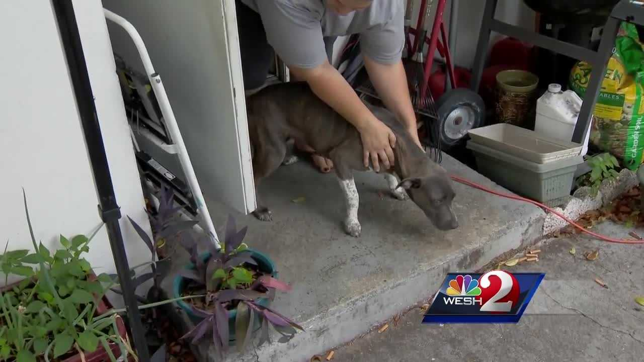 A local woman is recovering after she said she was attacked by four pit bulls in Deltona. The dogs haven't been taken into custody, but they have been quarantined. Claire Metz (@clairemetzwesh) has the story.