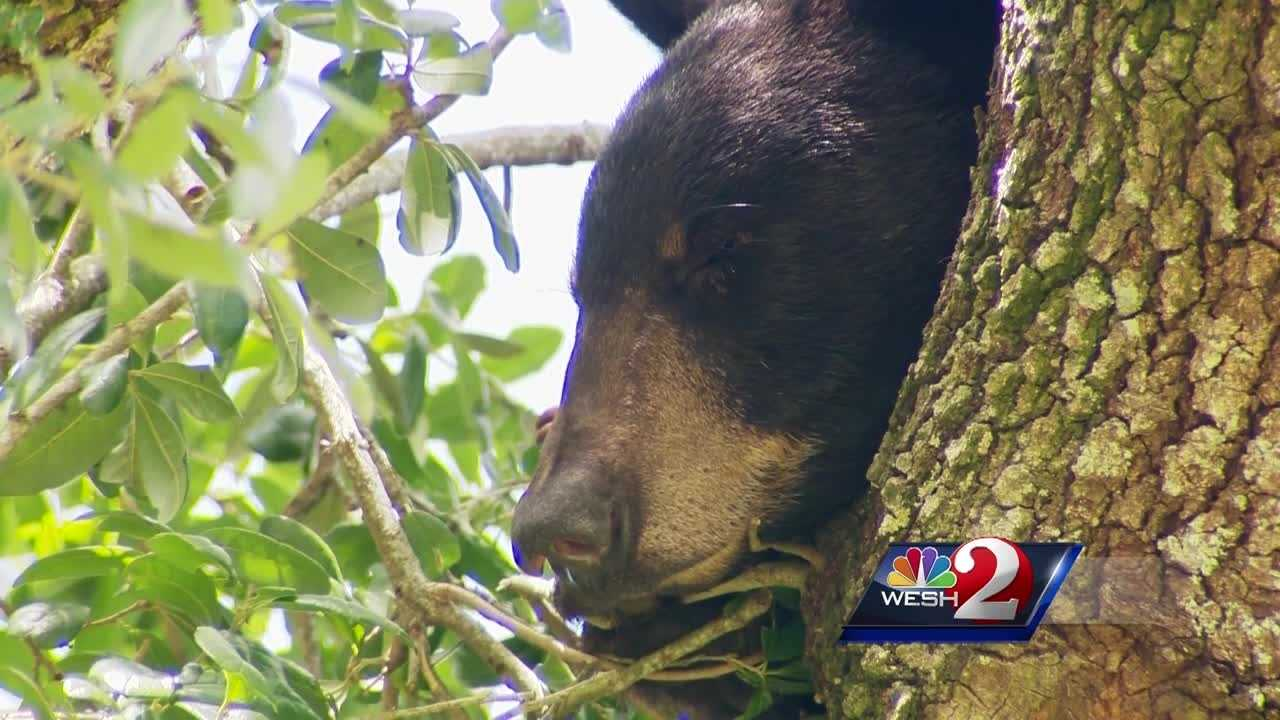 A bear running through College Park brought onlookers to a halt Tuesday. Adrian Whitsett has the latest report.