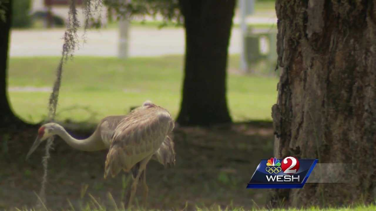 Florida Fish and Wildlife has launched an investigation after someone ran over and killed a protected Sandhill crane on a golf course in Leesburg.