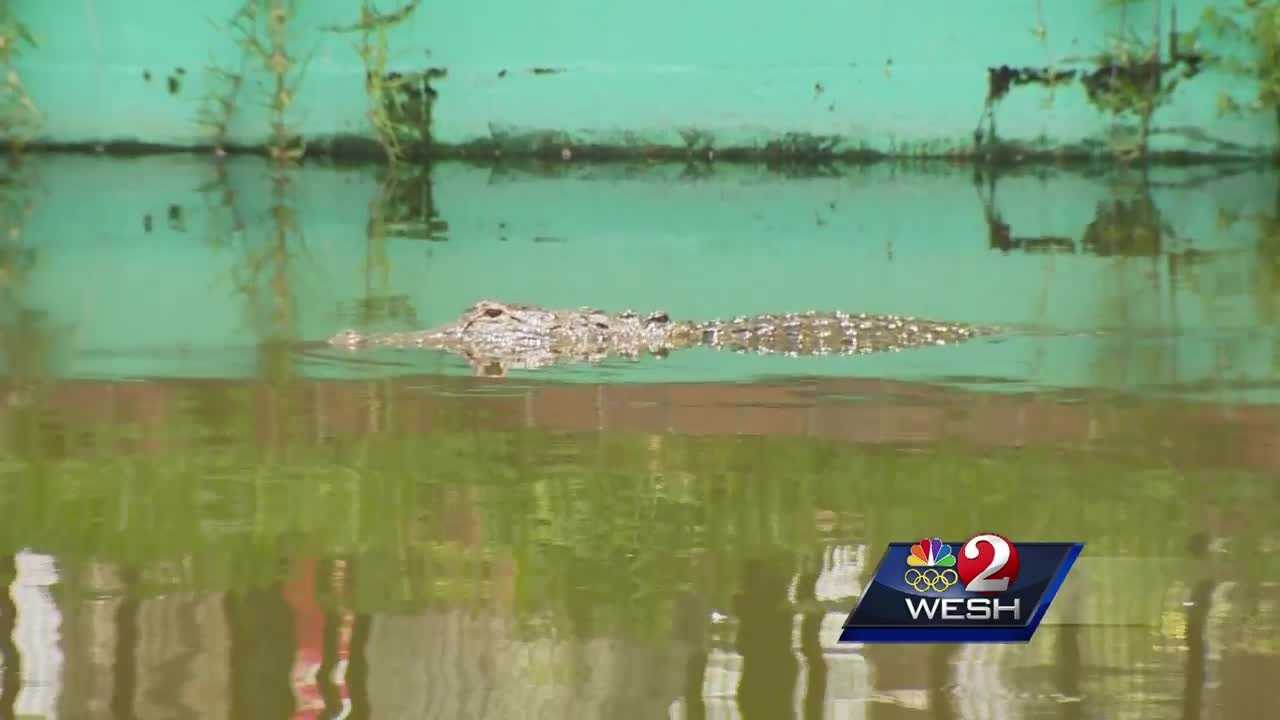 The death of a toddler leads to an increase in nuisance gator calls.