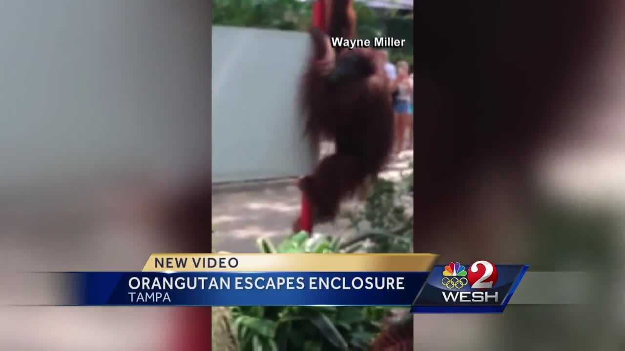 An orangutan that escaped its enclosure at Busch Gardens was captured Friday evening, according to the Florida Fish and Wildlife Conservation Commission. Meredith McDonough has the latest details.